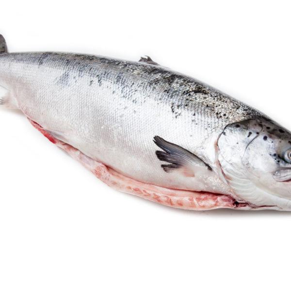 Whole Scottish salmon fish isolated on a white studio background