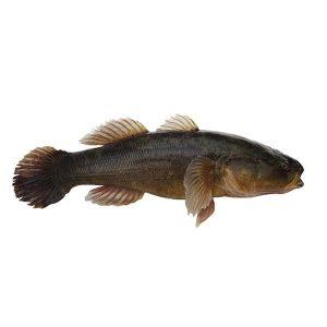 急凍整條筍殼魚