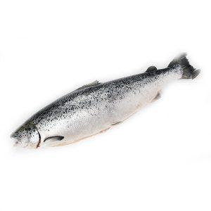 整條新鮮三文魚